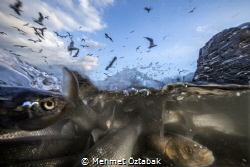 2. The incredible journey of pearl mullet fishes living ... by Mehmet Öztabak