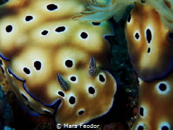 Hypselodoris so close that it can smell me with its prett... by Mara Feodor