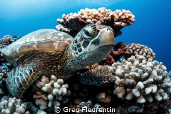 Green turtle resting on the reef by Greg Fleurentin