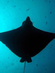 an eagle ray at Blue Corner; she showed up at the end of ... by Edmond Gozo