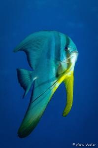 Friendly Spadefish by Norm Vexler