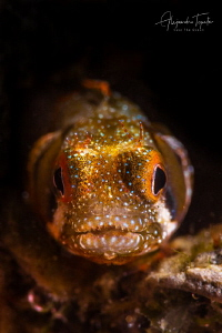 Blenny with black Sky, La Paz Mexico by Alejandro Topete