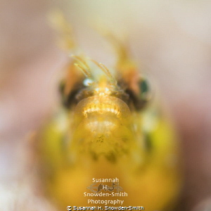 """Sigourney's Alien"" - A golden roughhead blenny's mighty,... by Susannah H. Snowden-Smith"