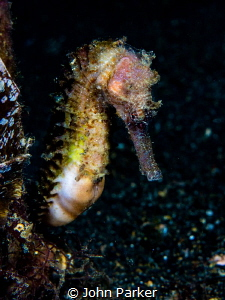 Shy seahorse Lembeh by John Parker