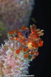 Cryptic teardrop crab on iridescent vase sponge by Arun Madisetti