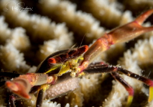 Black Coral Crab with eggs by Patricia Sinclair