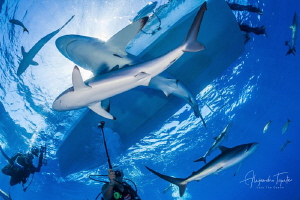 Silky Sharks and divers, Garden of the Queen Cuba by Alejandro Topete