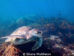 Turtle scavenging for food off La Jolla Shores by Shana Middleton