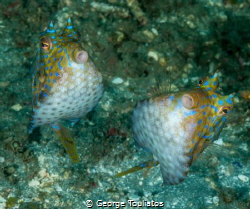 Horned Buddies!!! by George Touliatos