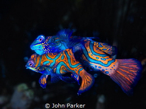 Mating Mandarin Fish by John Parker