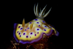 Goniobranchus (Chromodoris) kuniei 