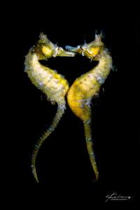 seahorse mating by Jinggong Zhang