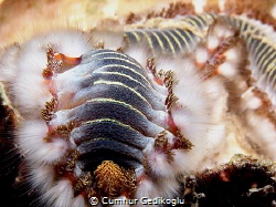 Hermodice carunculata Fire worms by Cumhur Gedikoglu