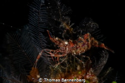 Urocaridella antonbruunii by Thomas Bannenberg