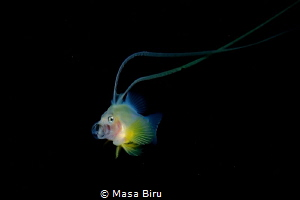 Yellow fish feeding by Masa Biru