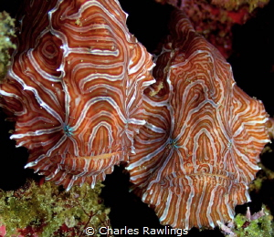 Recently rediscovered Psychedelic Frogfish. A pair discov... by Charles Rawlings