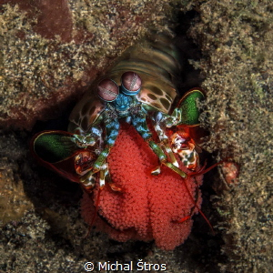 Peacock Mantis Shrimp with eggs by Michal Štros