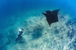 Giant Pacific Manta Ray at La Reina, La Paz, Baja Califor... by Nick Polanszky