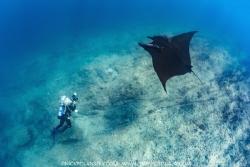 Giant Pacific Manta Ray at La Reina, La Paz, Baja Califor... by Nick Polanszky