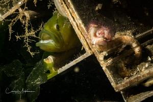 Penpoint Gunnel hiding amongst sunken debris. Taken in th... by Chris Mckenna