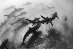 Rare sightings of schools of Silky Sharks in the bay of L... by Nick Polanszky