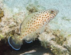 Juvenile Red Hind, a member of the Grouper family. by Jim Chambers