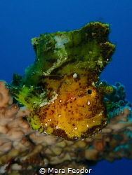 How is this Yellow leaf fish not falling off the coral? by Mara Feodor