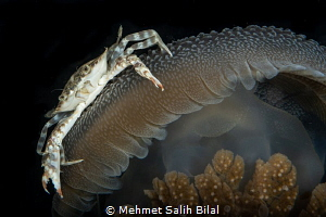 A rare symbiosis. Crab was inside the gills of the jellyf... by Mehmet Salih Bilal