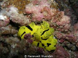 Aegires minor (Banana nudibranch) 8-15 m depth, lenght u... by Hansruedi Wuersten