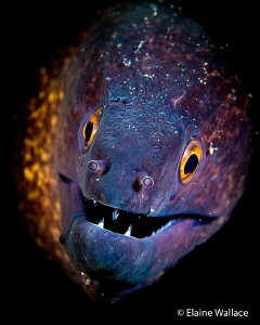 Yellow margin moray, quite big, quite brave and definitel... by Elaine Wallace