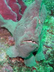 Frog fish and sponge, in natural light impossible to tell... by David Thompson