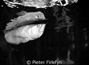 Arowana @ Todi indoor dive center by Pieter Firlefyn
