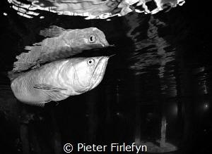 Arowana @ Todi indoor dive center by Pieter Firlefyn