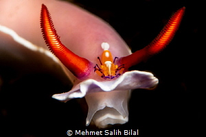 Emperor shrimp on the chromodoris. by Mehmet Salih Bilal