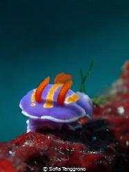 Tiny Tinky Winky Mexichromis trilineata by Sofia Tenggrono
