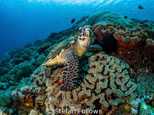 Eyes off the snacks dude ... !  Hawksbill Turtle - Eret... by Stefan Follows