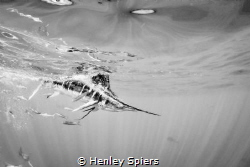 Striped Marlin Catches its Prey by Henley Spiers