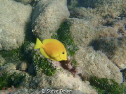 Image of a juvenile Blue Tang taken with Olympus TG-4 in ... by Steve Dolan