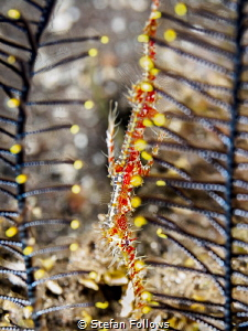 Ghost in the Machine ...  Ornate Ghost Pipefish - Solen... by Stefan Follows