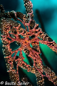 Seastar by Beate Seiler