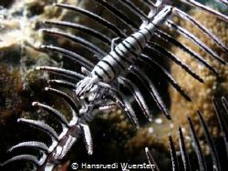 Undescribed species of Crinoid Shrimp by Hansruedi Wuersten