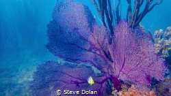 Four Spot Butterfty and Puple Sea Fan taken with Olympus ... by Steve Dolan