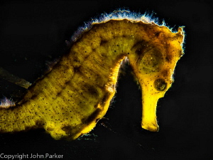 Back Lit Seahorse by John Parker