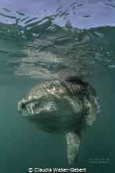 Mola mola - sun fish by Claudia Weber-Gebert