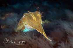 Squid moving by Claude Lespagne