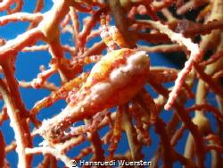 Coral Crab by Hansruedi Wuersten