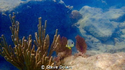 Four spot Butterfly close to shore in Bermuda. Taken with... by Steve Dolan