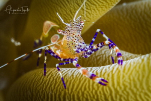Shrimp with anemona, Klein Bonaire by Alejandro Topete