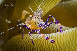 Shrimp with anemona, Klein Bonaire by Alejandro Topete