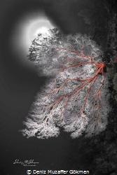 coral tree made a christmas tree by Deniz Muzaffer Gökmen